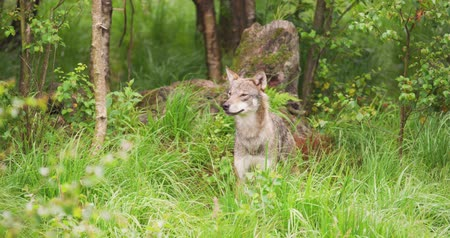 Beautiful grey wolf looking after prey in the dense summer forest