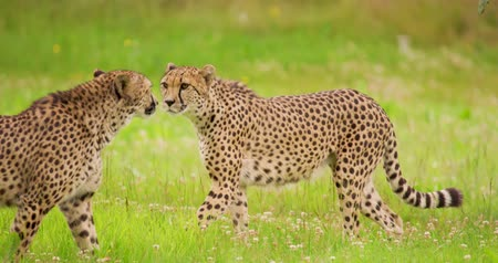 nordic countries : Cheetahs walking on grassy field Stock Footage