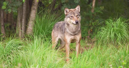temas animais : Alert wolf on field in forest