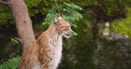 секунды : Alert lynx sitting in forest Стоковые видеозаписи