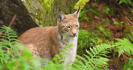 gato selvagem : Lynx sitting amidst plants in forest