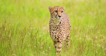 секунды : Alert cheetah walking on grassy field in forest Стоковые видеозаписи