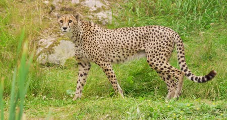 секунды : Cheetah looking around while walking in forest