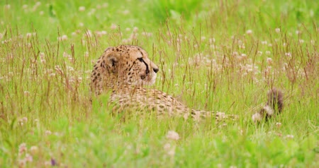 секунды : Cheetah lying on field in forest Стоковые видеозаписи