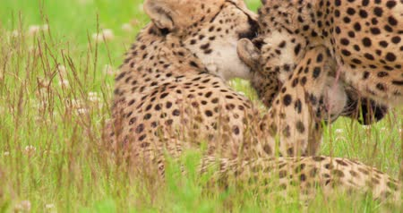 greater : Playful cheetahs lying on field