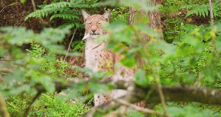 nordic countries : Lynx in forest seen through plants