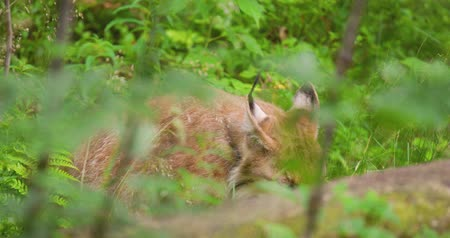 animal paws : Lynx licking paw in wilderness area Stock Footage