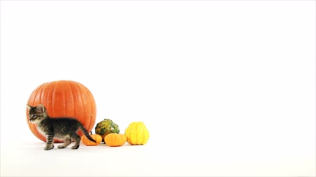 animais e animais de estimação : A tiny kitten walks over to a pumpkin and gourds, sniffs around a bit then walks off when it looses interest. White backdrop copy space