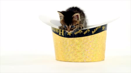 тыкать : A tiny kitten inside of a gold colored Happy New Year fedora pokes his head up and then gingerly climbs out tipping the hat over. White backdrop