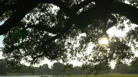 drzewo : pan to sun flare in old oak tree in City Park New Orleans