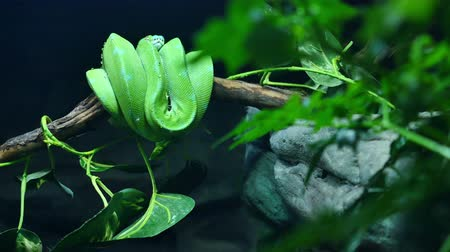 cobra : Scene pans over to reveal a Morelia viridis green tree python coiled up on a branch in his rainforest habitat. Vídeos