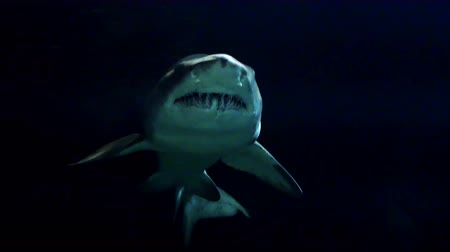 зубы : A shark swims into the light from dark waters. Стоковые видеозаписи