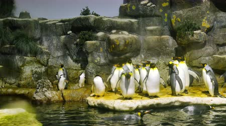 homlokzatok : Penguins in an enclosure stand on rocky ledge and swim in the cold water.