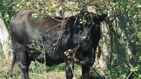 mestiços : A Brangus cow standing under the low hanging branch of a small tree. Vídeos