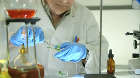 botanikus : Close up of a botanist working in a laboratory who carefully trims a leaf from a plant into a Petri dish.