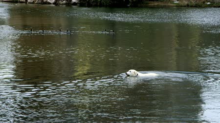 treading : Old dog swimming out into the calm waters of a river to fetch a ball.