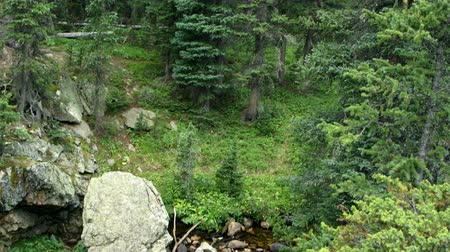 ribeiro : Scene moves down a grove of spruce trees to a shallow wilderness stream or brook in Rocky Mountain National Park. Stock Footage