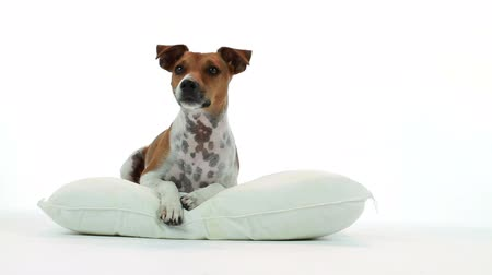 hayvan kafa : A cute Jack Russell terrier dog laying on a pillow on a white backdrop responding to something or someone off camera.