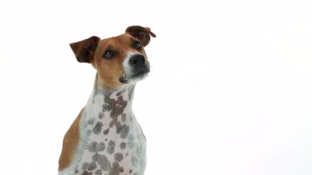 терьер : A curious Jack Russell terrier dog on a white backdrop reacting to something or someone off camera.