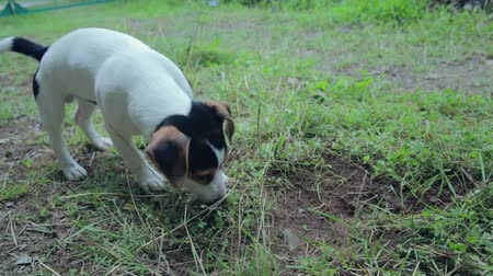щенок : Jack Rassel puppy playing in the yard