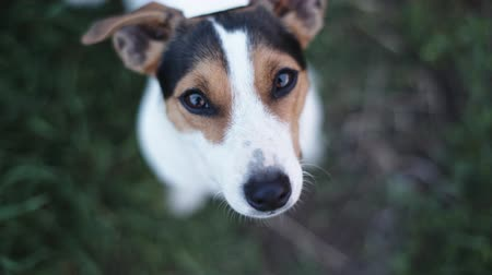 zvedák : small dog breeds Jack Russell Terrier interested looks at the camera, walking backwards and barking. Top view Dostupné videozáznamy