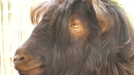 buta : Close-up of the head of a goat with large horns.