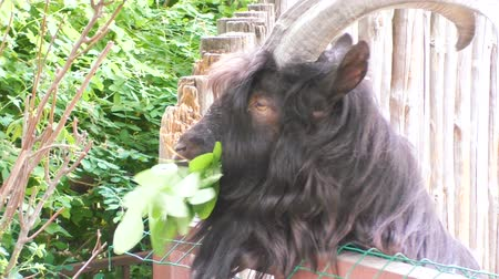 ostoba : An animal of a goat eats tree leaves.