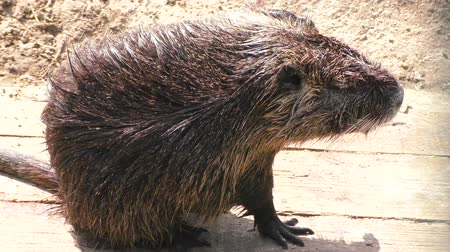 myocastor : Animal is gray and wet nutria close-up. Stock Footage