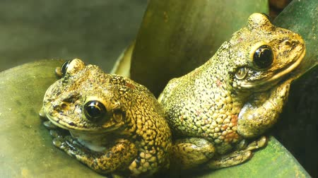 kétéltű : Two frogs sit on a green leaf closeup. Stock mozgókép