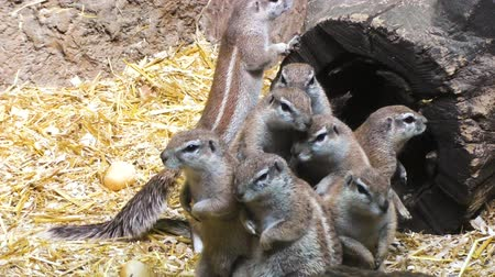 wiewiórka : Family of gray squirrels in their home, lovely rodents.