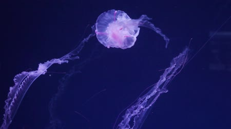 transparent jellyfish underwater footage.
