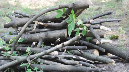 sawn : Sawn tree branches lie in a heap. On the ground there is a hill of small round logs. Logging firewood. Pruning trees. Broken branches on the green grass. Young shoots