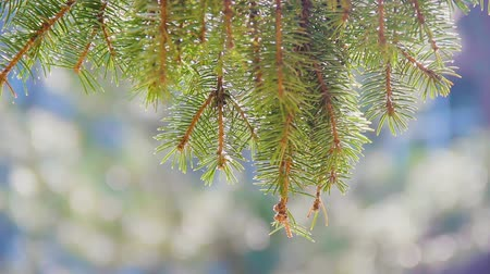 сосновая шишка : A branch of a pine lit by the sun sways in the wind. Close-up. Summer time. Evergreen Christmas spruce.