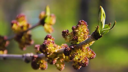 manó : Buds and opening blossom of awakening Acer negundo tree close up. Blooming Manitoba maple or Elf maple branch in early spring macro shot at sunset. Cause of seasonal pasture myopathy SPM in horses