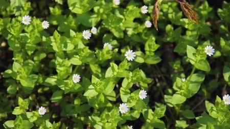 homeopathic : Flowering plant of Chickweed herb or Stellaria media also known as chickenwort, craches, maruns, winterweed. Common in lawns, meadows, waste places. It has medicinal property and used in folk medicine Stock Footage