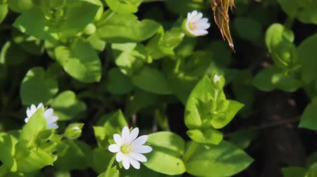 homeopati : Flowering plant of Chickweed herb or Stellaria media also known as chickenwort, craches, maruns, winterweed. Common in lawns, meadows, waste places. It has medicinal property and used in folk medicine Stok Video