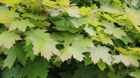 acer : Acer platanoides. Maple tree leaves close up. Fresh green foliage background on windy weather. Crown of tree. Spring time. Street decoration with natural plant
