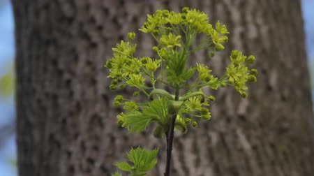 acer : Young green maple shoot with a blooming rosette of flowers against the background of tree bark. Blooming norway maple or Acer Platanoides on the wind Stock Footage