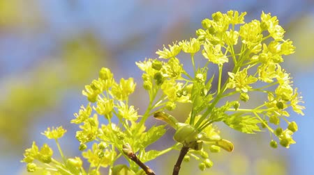 acer : Young green maple shoot with a blooming rosette of flowers against the background of blue sky. Blooming norway maple or Acer platanoides on the wind