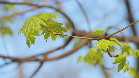 acer : Young green maple shoot with a blooming rosette of fresh young leaves against the background of blue sky. Branches of norway maple or Acer Platanoides on the wind