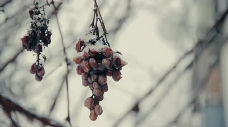lerdo : Bunch of frozen sluggish grapes under the snow covered in abandoned winter garden. Hoarfrost on grapes berries. White snow in winter snowfall. Outdoor nature photography. Stock Footage