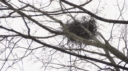 Raven twig nest at the top of the maple tree in early spring at daylight. Telephoto view from below. Stock mozgókép