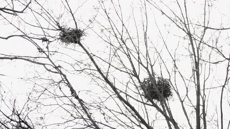 Two raven twig nests at the top of the maple tree in early spring at daylight. Telephoto view from below.