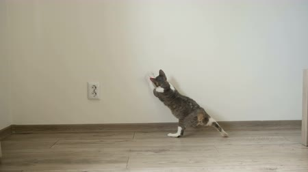 galhofeiro : Cat playing with laser pointer