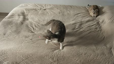 galhofeiro : Cat playing with laser pointer on the bed