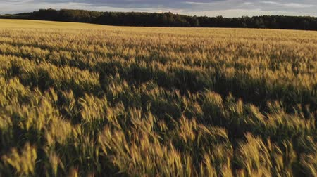Flight above ripe golden wheat field at sunset. Quick flight forward and up. Stok Video
