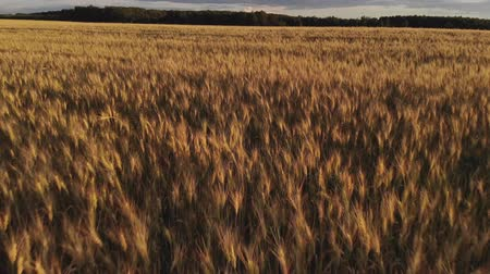 明るく照らされた : Flight above ripe golden wheat field at sunset. Quick flight forward and up. 動画素材
