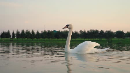 cisne : white swan swims in river against country nature at sunset