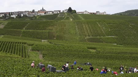 pezsgő : Cramant, France - September 11, 2017: Harvest of the Champagne grapes with many grape pickers.