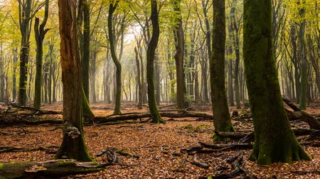 너도밤 나무 : Time lapse of the sun shining in a beech forest in the Speulder and Sprielderbos. 무비클립
